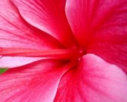 Hibiscus 2605595